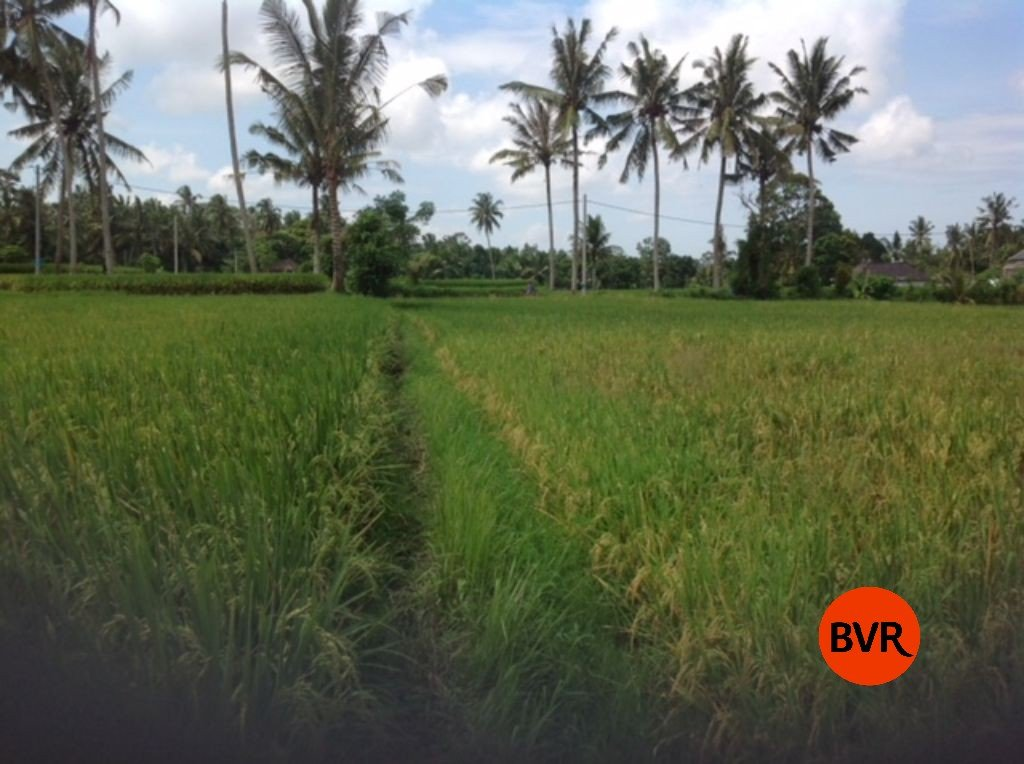 Land Investment Surrounded By Rice Fields For Sale In Ubud